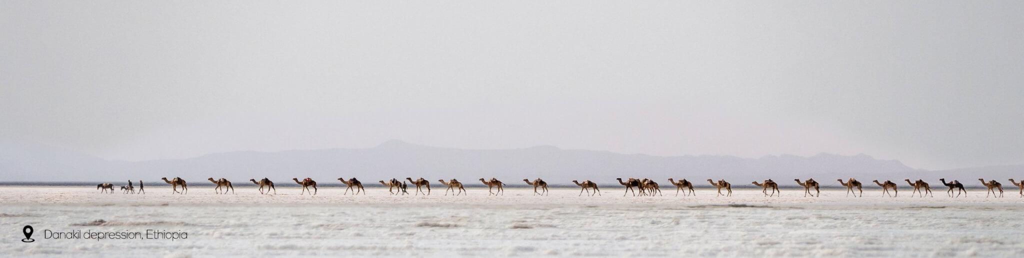 Danakil depression camel caravan