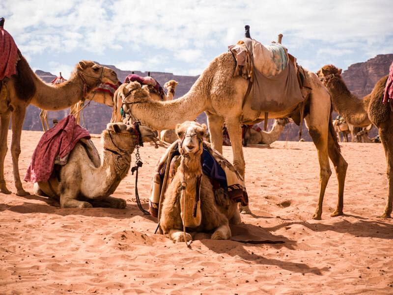 Camels resting after a day tour in Wadi Rum