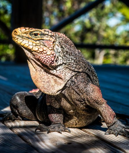 Bahamian Iguana at West Side National Park