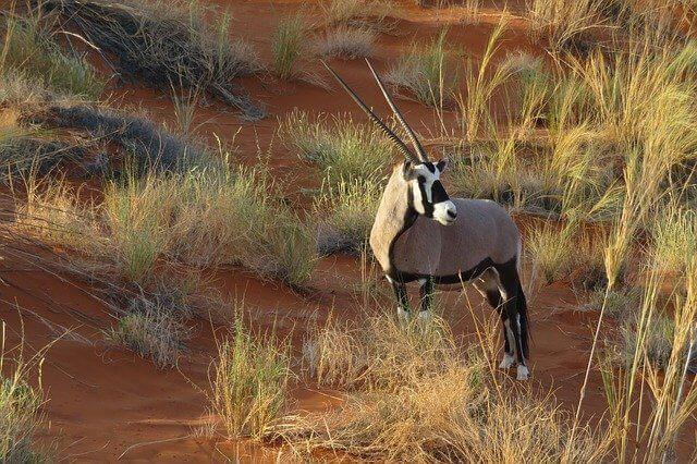 Arabian Oryx in Qatar