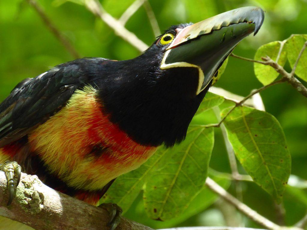 Biodiversity at Peten . Photo of a tucan in Tikal