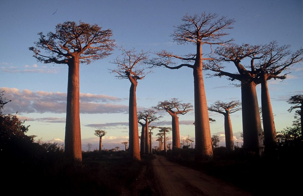 Baobabs are unique flora of Madagascar - Six places in six countries for travel photography lovers - Baobabs in Madagascar