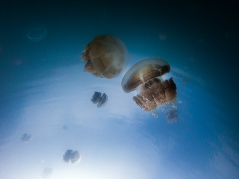Swimming with jellyfish at the jellyfish lake in Palau