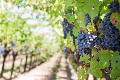 Climate change is transforming the future of wine