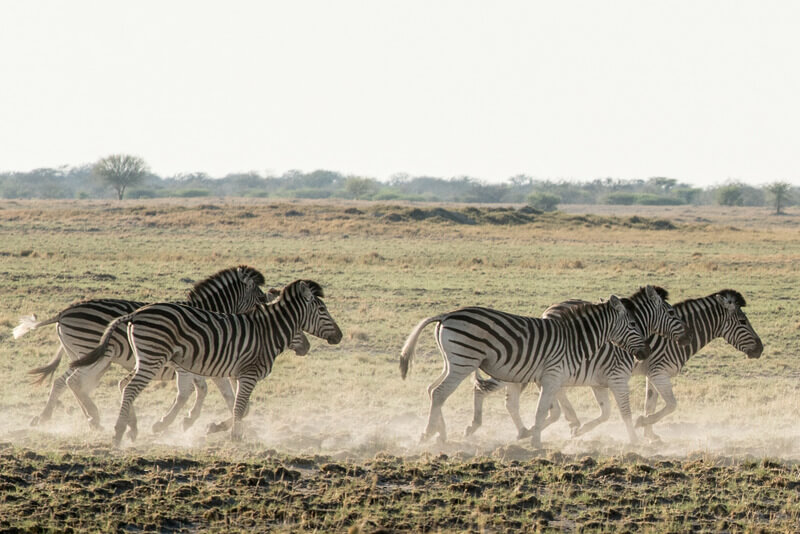 thousands of zebras migrate each year and cross the Makgadikgadi Pans