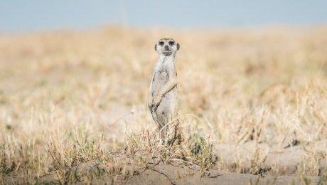 meerkats at Makgadikgadi Pans in Botswana