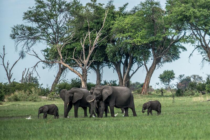 Herds of elephants at the Okavango Delta