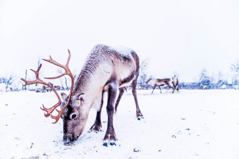 Reindeers from a reindeer farm in Swedish Lapland