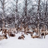 reindeer herding by sami at Swedish Lapland
