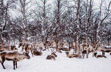 reindeer herding by sami at Swedish Lapland