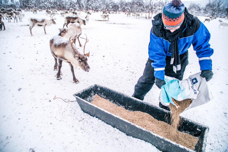 feeding reindeer in Swedish Lapland