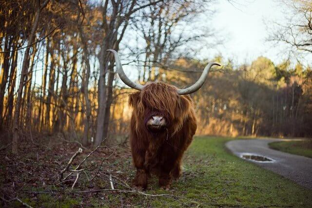 Finding a Yak in Scotland is not as difficult as it sounds