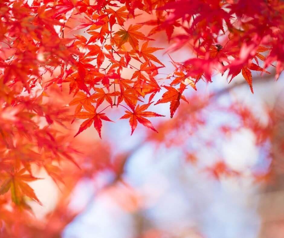 Autumm leaves at Mount Takao