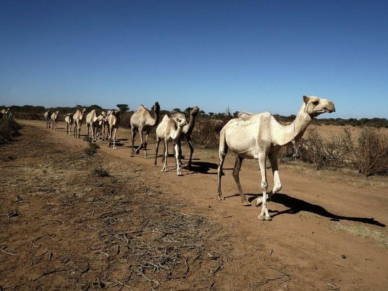 Camels in Somaliland - Djibouti Border