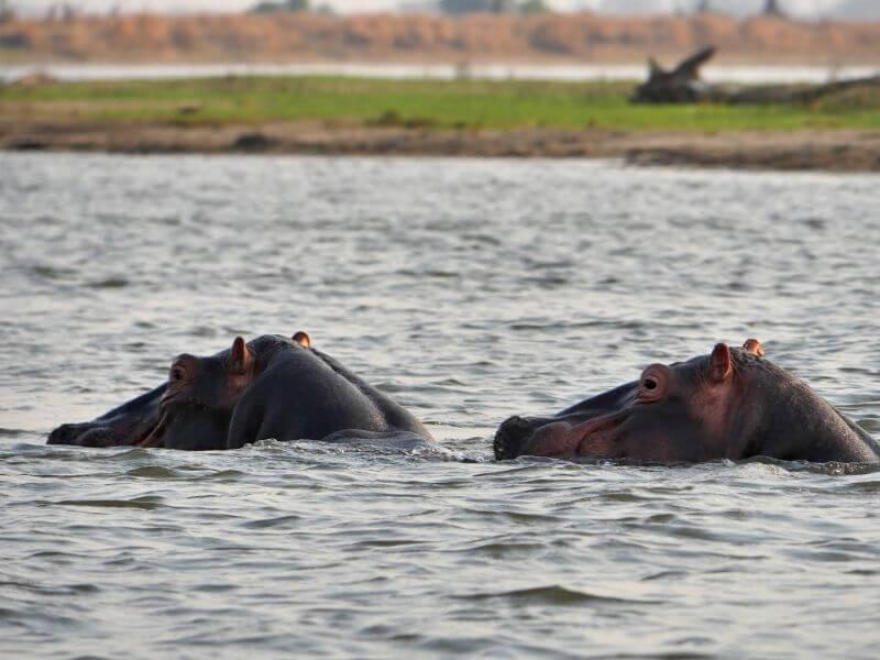 Hippo swimming in Colombia river