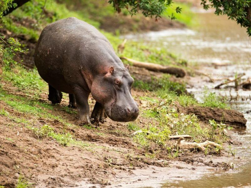 Hippos_Colombia_drinking water