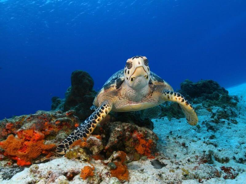 Sea Turtles are very popular in Cozumel