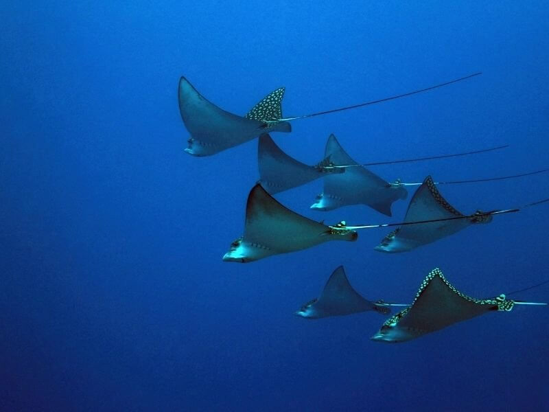 Mobula Rays in the Gulf of Mexico